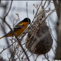 Thumbnail image for Oriole In It's Next