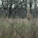 Thumbnail image for Peek-A-Boo! I See You Little Deer