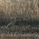 Thumbnail image for Sandhill Cranes On The Mahnomen Trail