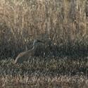 Thumbnail image for Sandhill Cranes On The Mahnomen Trail