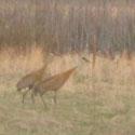 Thumbnail image for Sandhill Cranes